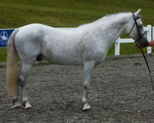 South Ridge Aidan- ACPS connemara pony stud